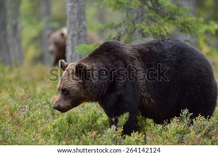Brown bear in forest with other bear in the background