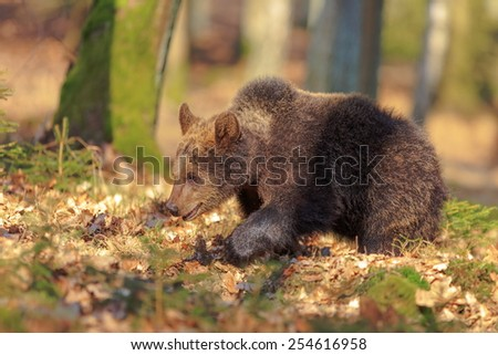 brown bear in forrest - stock photo