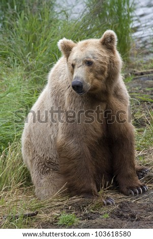 Brown Bear in Katmai National Park in Alaska