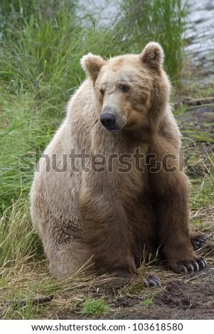 Brown Bear in Katmai National Park in Alaska - stock photo