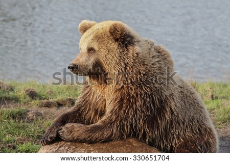 Brown bear in the nature - stock photo
