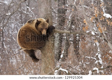 Brown bear in the tree looking on the camera in the forest - stock photo