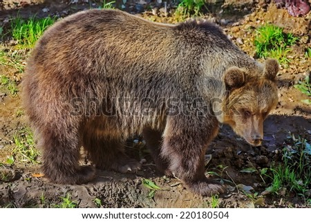 brown bear in the wood - stock photo
