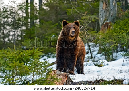 Brown bear in the woods in winter - stock photo