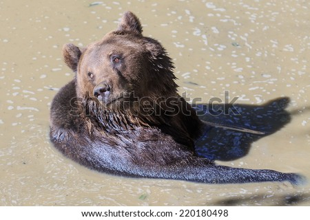 brown bear in water - stock photo