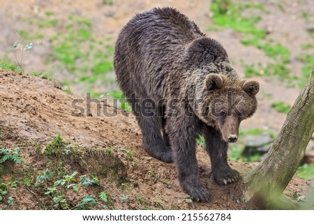 brown bear is going down in the forrest - stock photo