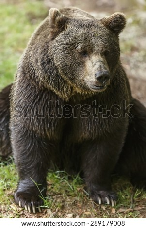 brown bear is sitting - stock photo