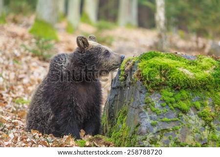 brown bear is snuffing the rock - stock photo