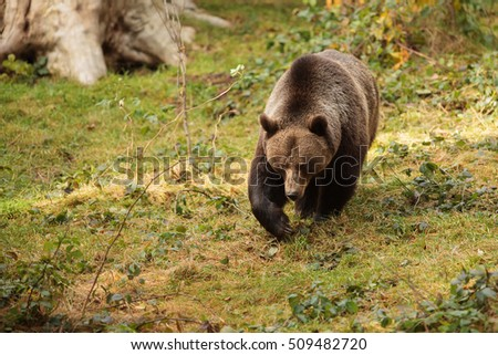 brown bear is walking from forest