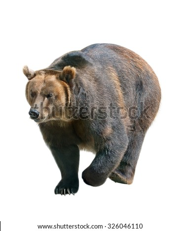 Brown bear isolated on white background, Siberia - Russia