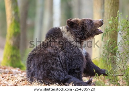 brown bear jaws open - stock photo