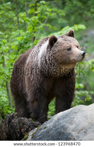 brown bear (lat. ursus arctos) stainding in the forest - stock photo