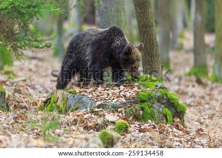 brown bear looking for something to eat - stock photo
