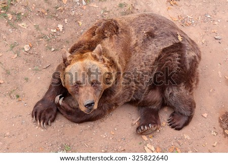 Brown bear looking into camera while lying on the ground. - stock photo