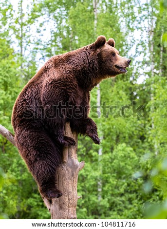 Brown bear looking into the distance on the tree