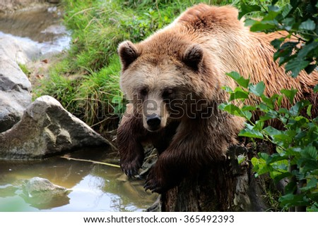 Brown bear looks at water  (Ursus arctos)