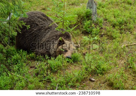 Brown bear lying in forest