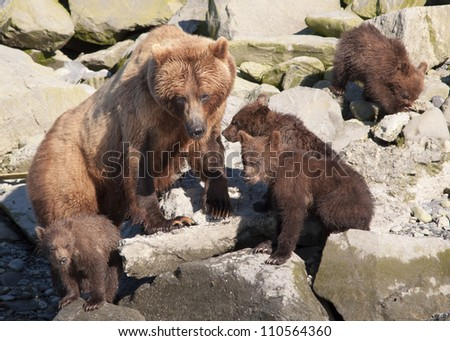 brown bear mother with four wet cubs - stock photo