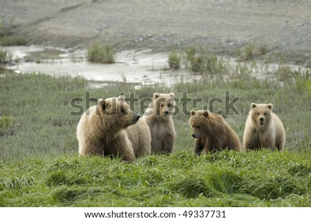 Brown bear mother with three curious cubs. - stock photo