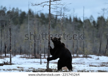 Brown bear on snow - stock photo