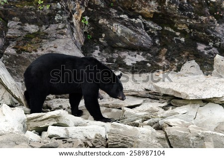 brown bear on the banks of the Blue River in Canada - stock photo