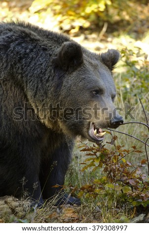 Brown Bear (Portrait)