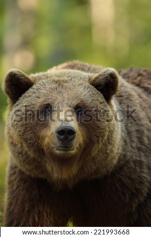 Brown bear portrait in forest - stock photo