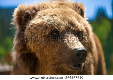 Brown bear portrait in forest. Focus on a eyes. - stock photo