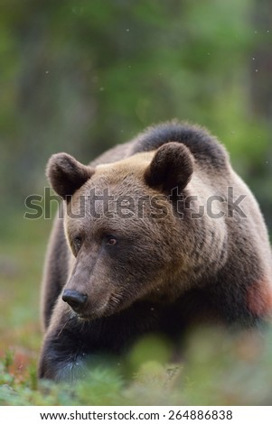 Brown bear portrait in the forest - stock photo