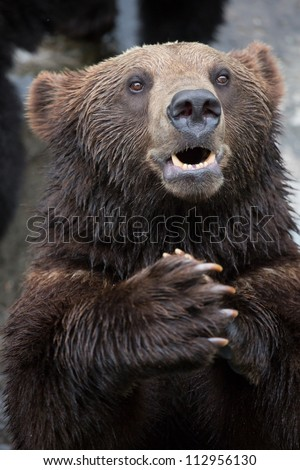 Brown Bear puts the palm together - stock photo