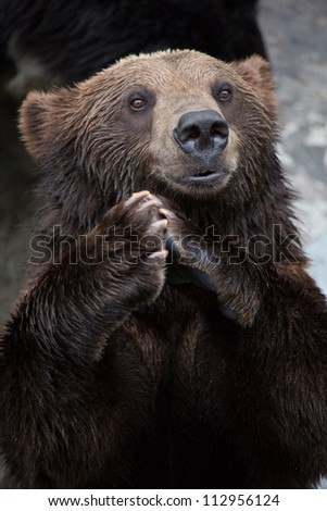 Brown Bear puts the palm together and clapping - stock photo