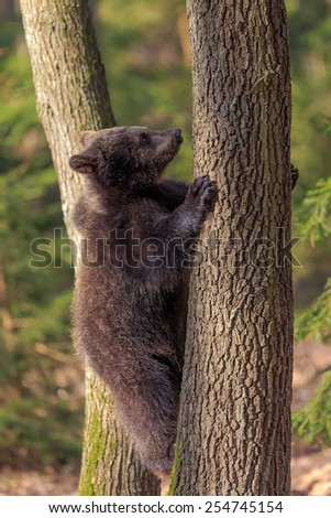 brown bear quickly climbs a tree - stock photo