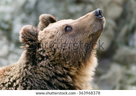 Brown bear's head looking up - stock photo