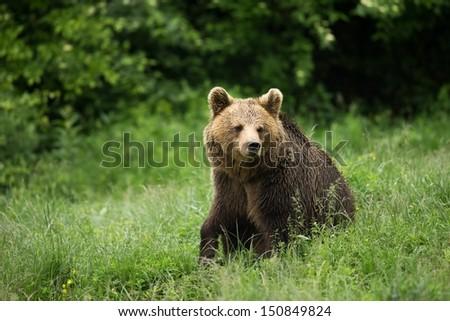 Brown bear sitting - stock photo