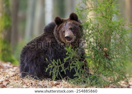 brown bear sitting - stock photo