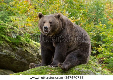 Brown Bear sitting on a rock in the Bavarian forest.