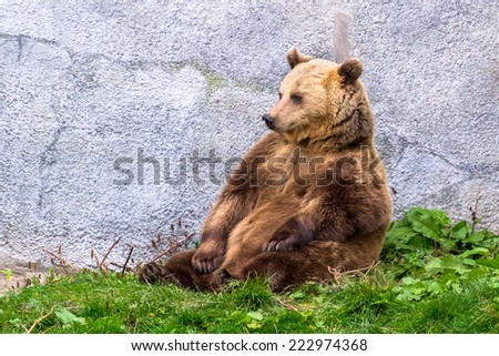 Brown bear sitting on the grass - stock photo