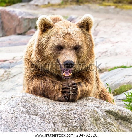 Brown bear sitting rubbing hands and grinning - stock photo