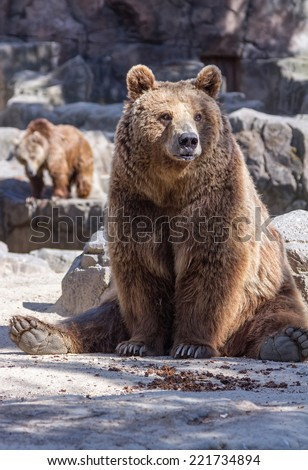 brown bear sitting so funny - stock photo