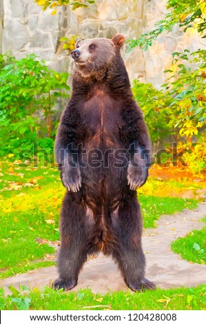 Brown bear standing - stock photo