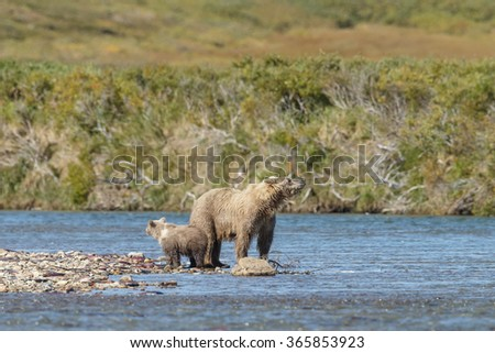 Brown bear standing in a river at Katmai Alaska with her two spring cubs