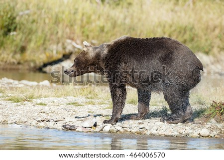 Brown bear standing in the river and chasing salmon