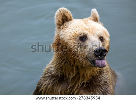 Brown Bear Swimming - stock photo