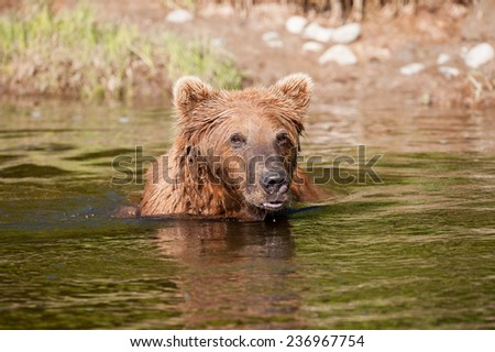 Brown Bear swimming through a stream looking for salmon - stock photo