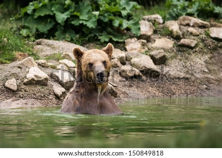 Brown bear taking a bath in the lake - stock photo