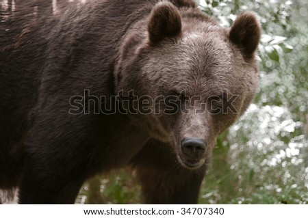 Brown bear throws an angry look.