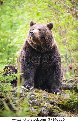 Brown bear (Ursus arctos) - stock photo