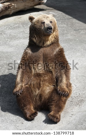 Brown bear (Ursus arctos arctos) sitting on the ground and looking.