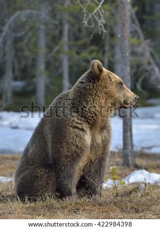 Brown Bear (Ursus arctos) in spring forest.  - stock photo