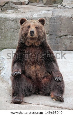 Brown Bear (Ursus arctos) in the zoo - stock photo
